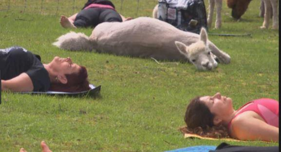There's a new yoga with alpacas experience in Cumbria