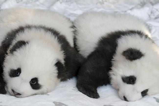 Panda cub Meng Yuan looks to the cameras as his brother Meng Xiang is almost sleeping during a name-giving event for the young panda twins