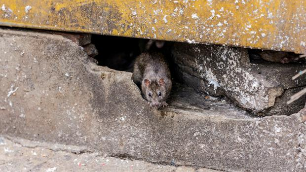 Knutsford Guardian: How to prevent rats in your home. Credit: BPCA