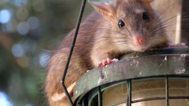 Knutsford Guardian: What to do if you think you have rats. Credit: BPCA
