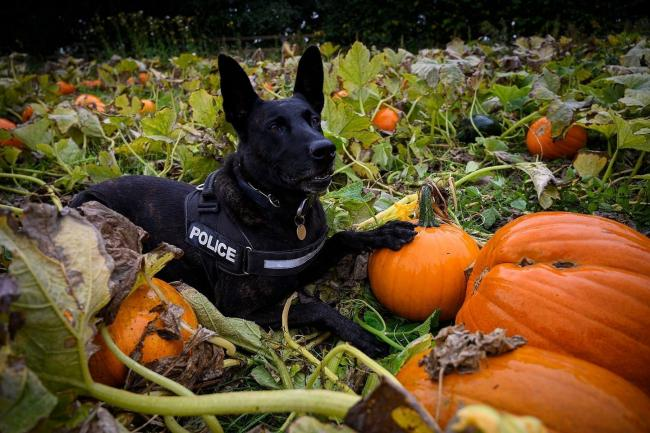 Cheshire Police dog enjoying a rest in a pumpkin field.