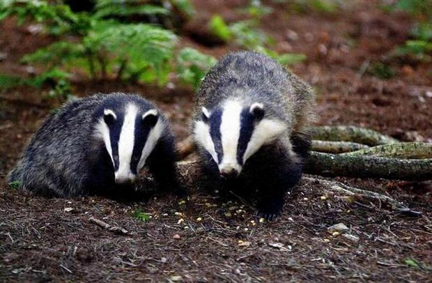 The scheme will vaccinate badgers in areas next to re