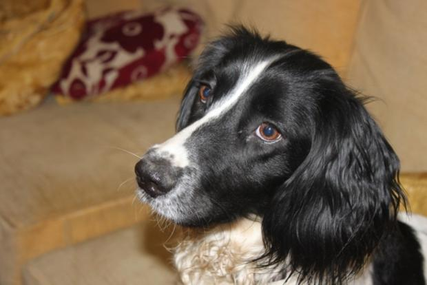 Pippa, Cheshire police drugs dog