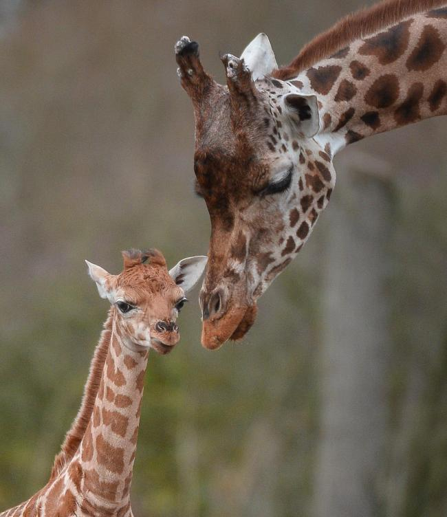 Chester Zoo is used to welcoming animal babies and mums such as giraffe calf Zahra and mother, Aoife