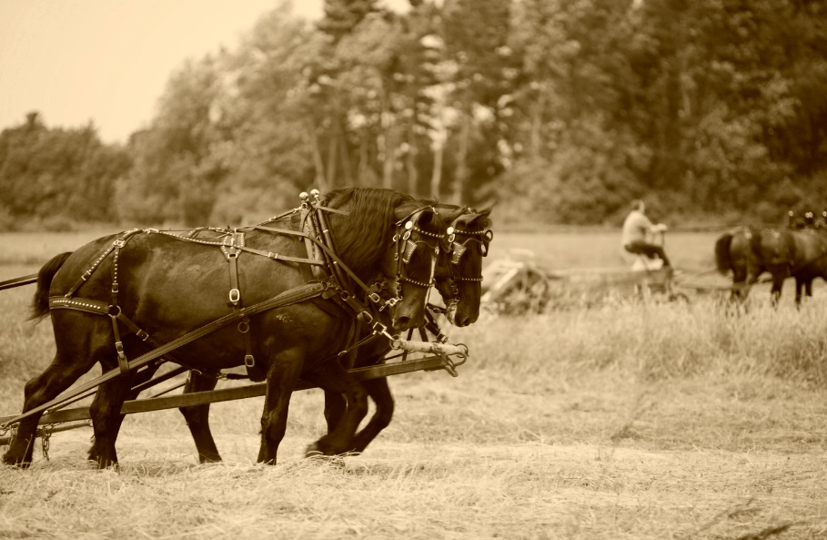 Display will be led out by shire horses, 'drawing' farming implements of yesteryear