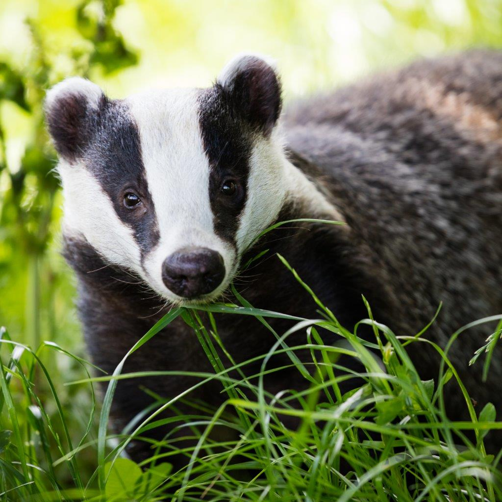 Vaccination of badgers is a cheaper option