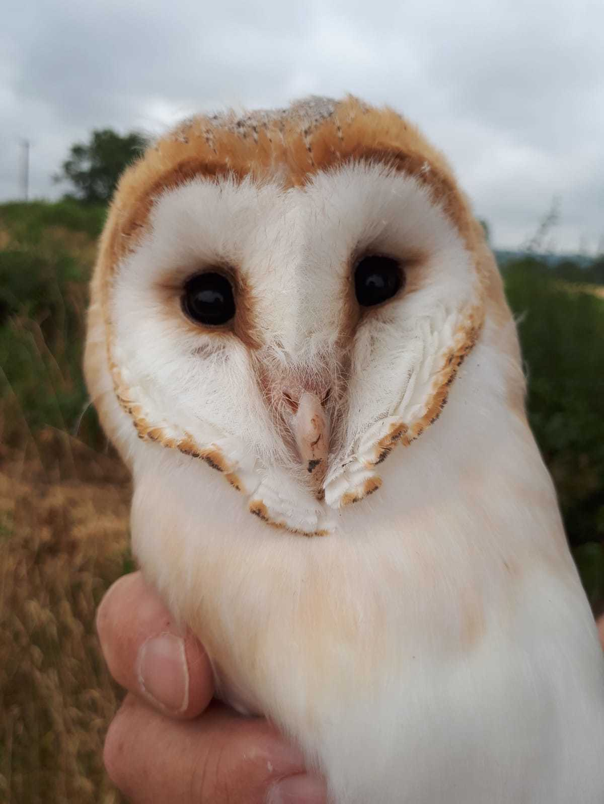 Conservationists Issue Stark Warning For Cheshire S Barn Owls Knutsford Guardian