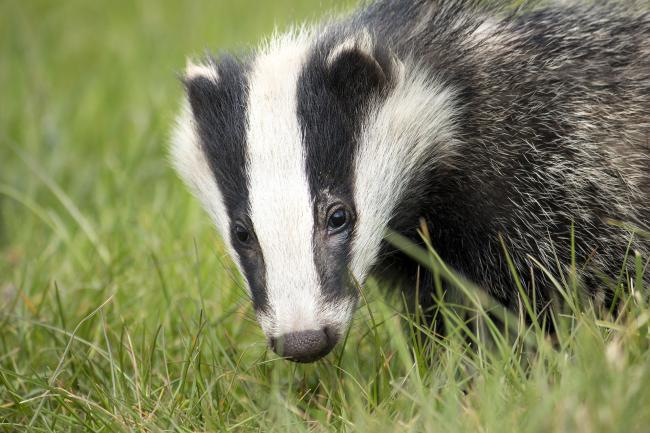 Council to ban badger culling on farmland it rents out in future tenancies